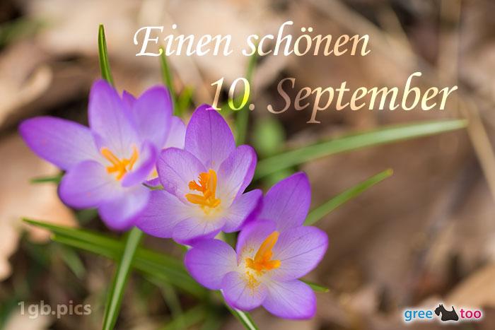 Lila Krokus Einen Schoenen 10 September Bild - 1gb.pics