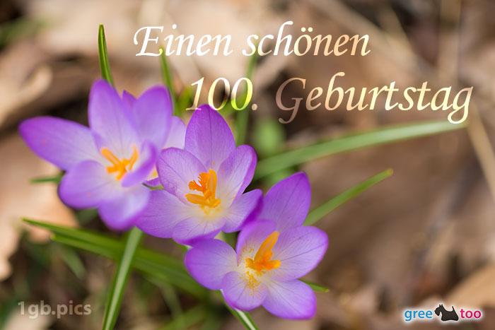 Lila Krokus Einen Schoenen 100 Geburtstag Bild - 1gb.pics