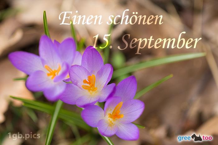 Lila Krokus Einen Schoenen 15 September Bild - 1gb.pics