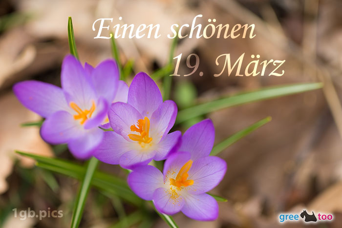 Lila Krokus Einen Schoenen 19 Maerz Bild - 1gb.pics
