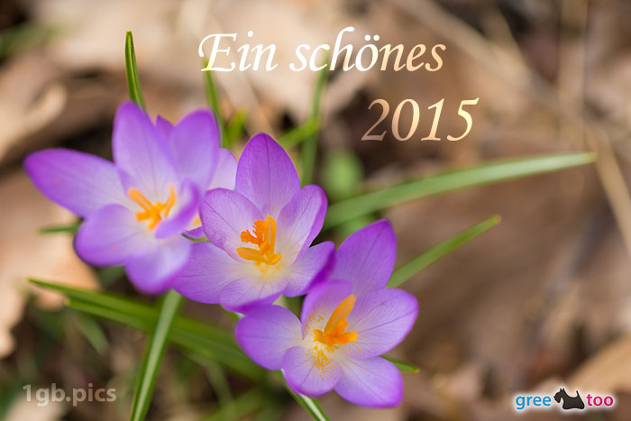 Lila Krokus Ein Schoenes 2015 Bild - 1gb.pics