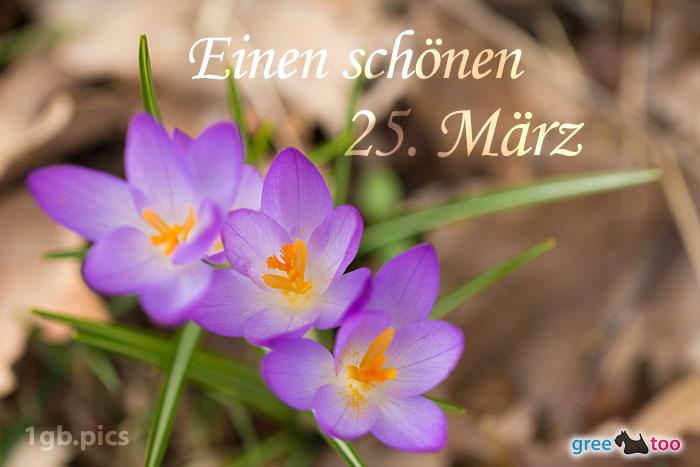 Lila Krokus Einen Schoenen 25 Maerz Bild - 1gb.pics