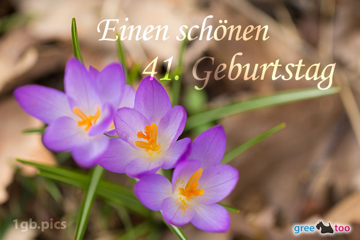 Lila Krokus Einen Schoenen 41 Geburtstag Bild - 1gb.pics