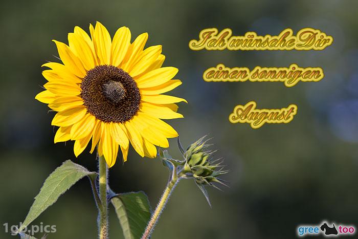 Sonnenblume Einen Sonnigen August Bild - 1gb.pics