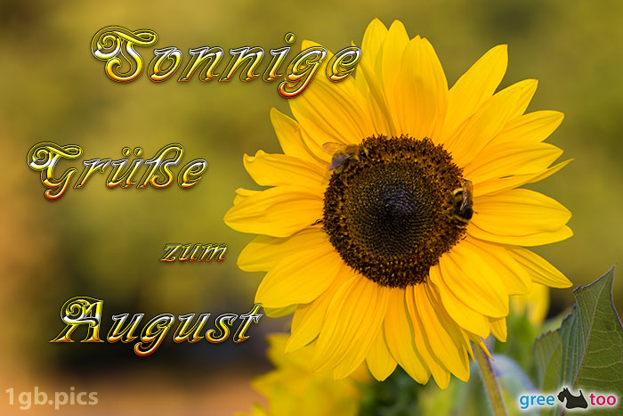 Sonnenblume Bienen Zum August Bild - 1gb.pics