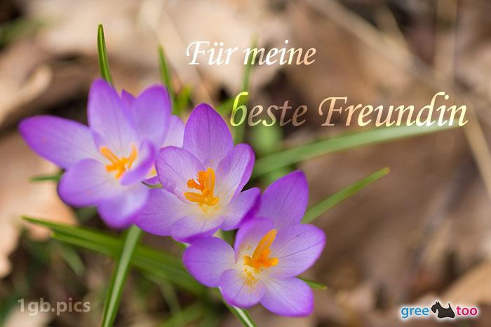Lila Krokus Fuer Meine Beste Freundin Bild - 1gb.pics
