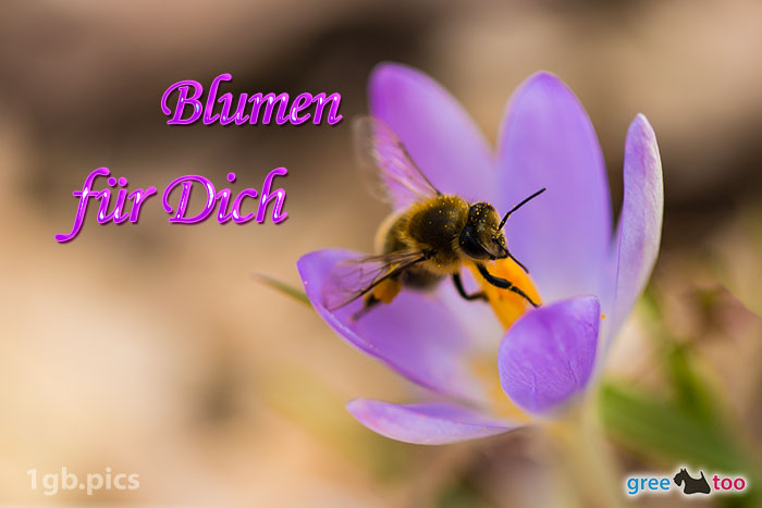 Krokus Biene Blumen Fuer Dich Bild - 1gb.pics