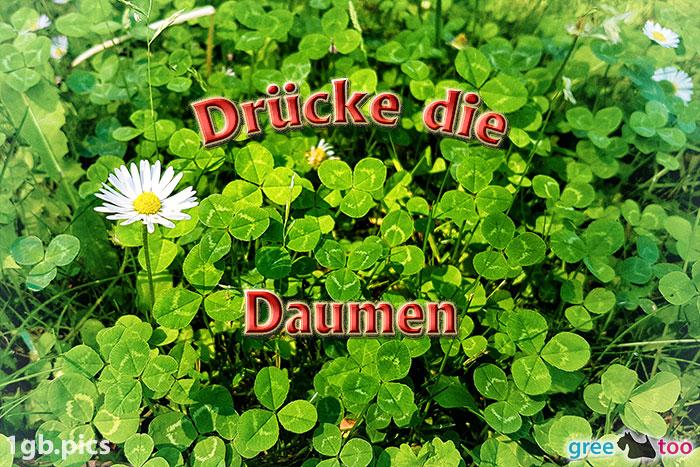 Klee Gaensebluemchen Druecke Die Daumen Bild - 1gb.pics