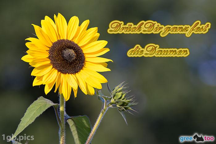Sonnenblume Drueck Dir Ganz Fest Die Daumen Bild - 1gb.pics
