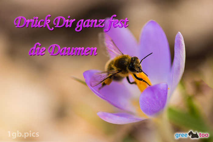 Krokus Biene Drueck Dir Ganz Fest Die Daumen Bild - 1gb.pics