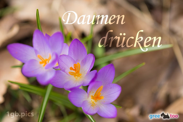 Lila Krokus Daumen Druecken Bild - 1gb.pics