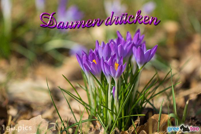 Krokusstaude Daumen Druecken Bild - 1gb.pics
