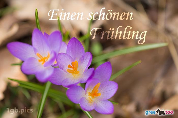 Lila Krokus Einen Schoenen Fruehling Bild - 1gb.pics