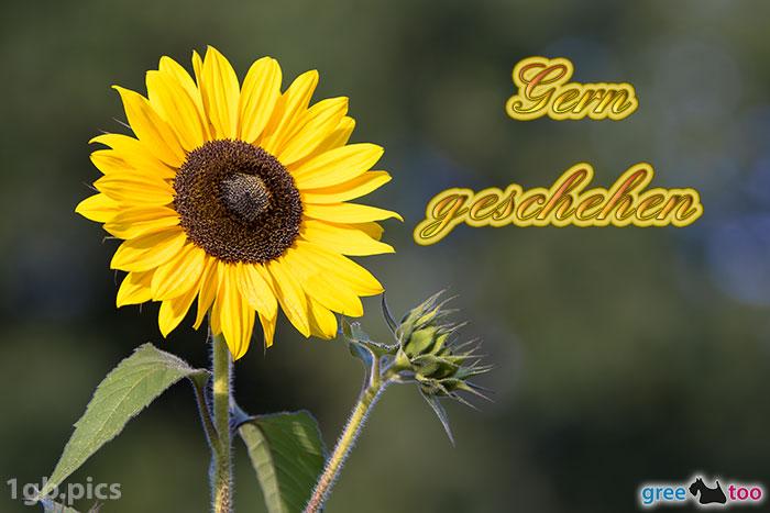 Sonnenblume Gern Geschehen Bild - 1gb.pics
