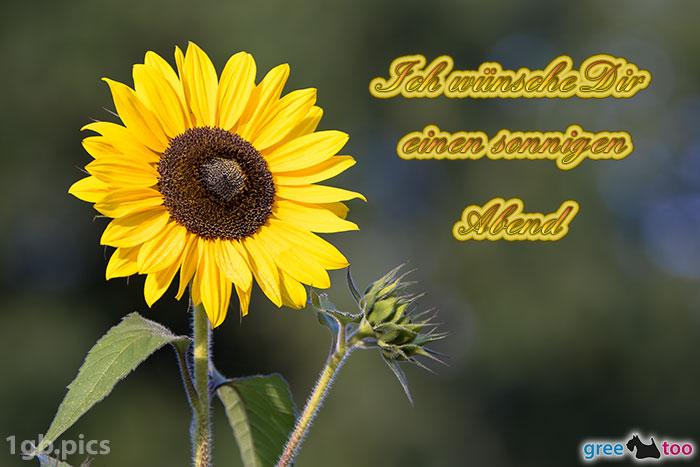 Sonnenblume Einen Sonnigen Abend Bild - 1gb.pics
