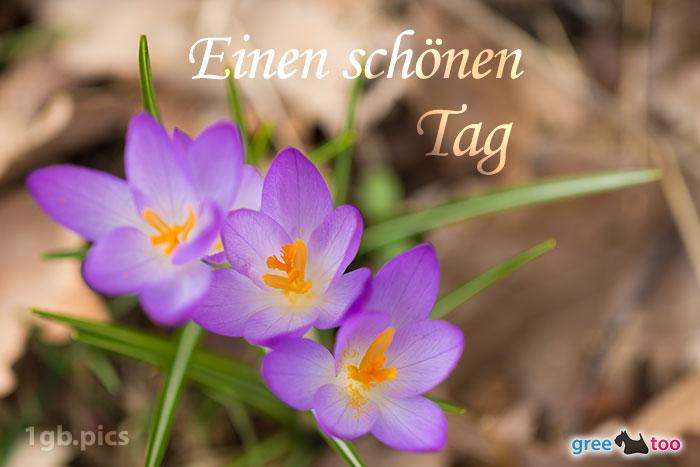 Lila Krokus Einen Schoenen Tag Bild - 1gb.pics