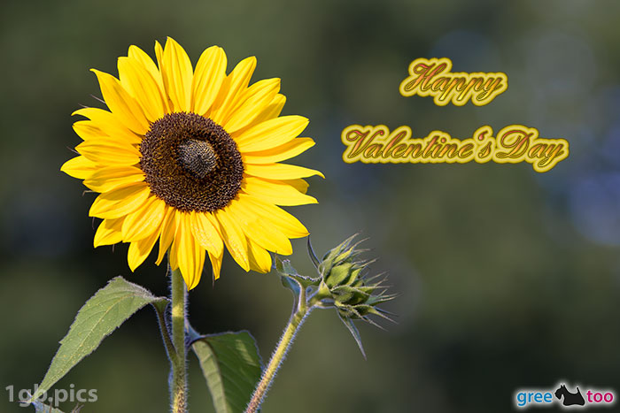 Sonnenblume Happy Valentines Day Bild - 1gb.pics