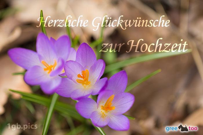 Lila Krokus Herzliche Glueckwuensche Zur Hochzeit Bild - 1gb.pics