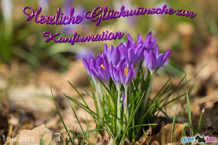 Krokusstaude Herzliche Glueckwuensche Zur Konfirmation Bild - 1gb.pics
