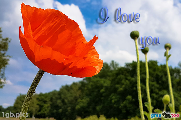 Mohnblume I Love You Bild - 1gb.pics