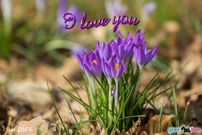 Krokusstaude I Love You Bild - 1gb.pics