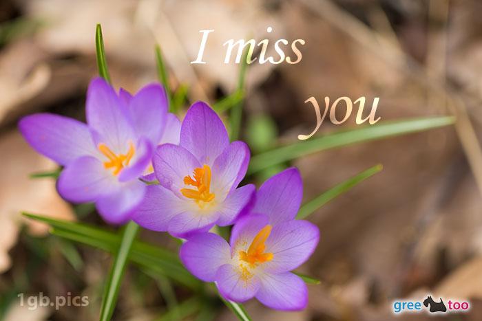 Lila Krokus I Miss You Bild - 1gb.pics