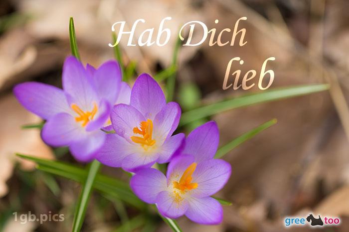 Lila Krokus Hab Dich Lieb Bild - 1gb.pics