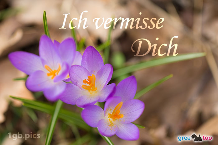 Lila Krokus Ich Vermisse Dich Bild - 1gb.pics