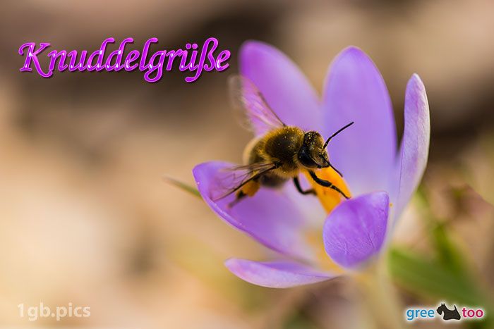 Krokus Biene Knuddelgruesse Bild - 1gb.pics