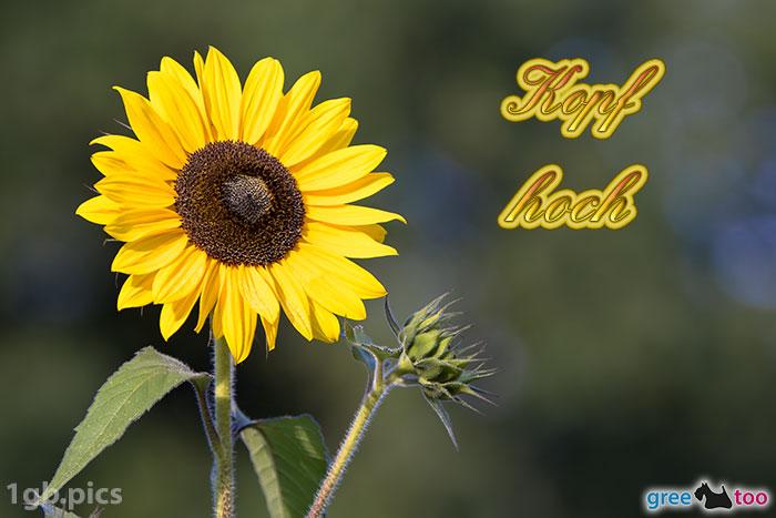 Sonnenblume Kopf Hoch Bild - 1gb.pics