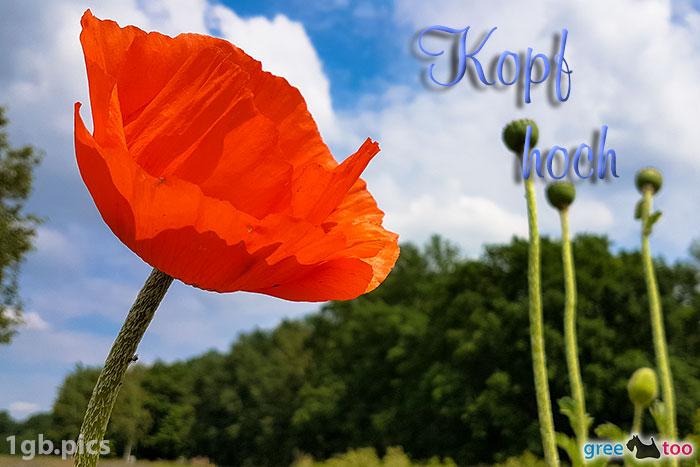 Mohnblume Kopf Hoch Bild - 1gb.pics