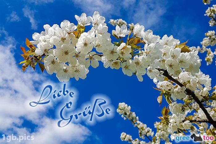 Kirschblueten Liebe Gruesse Bild - 1gb.pics