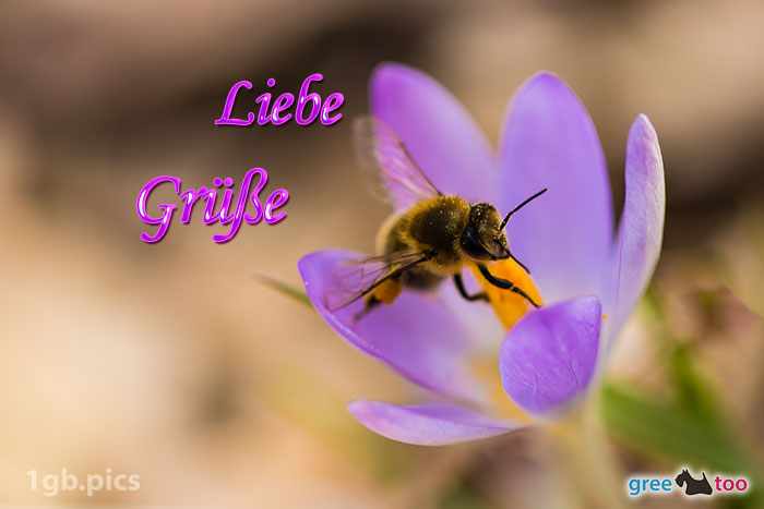 Krokus Biene Liebe Gruesse Bild - 1gb.pics