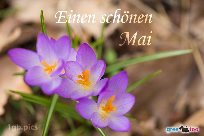 Lila Krokus Einen Schoenen Mai Bild - 1gb.pics