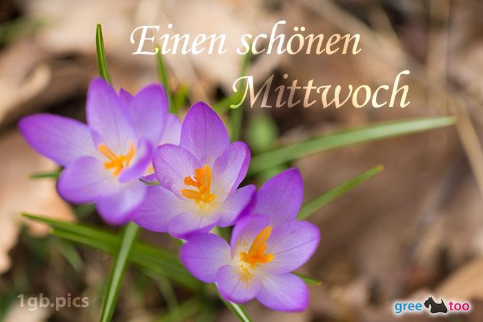 Lila Krokus Einen Schoenen Mittwoch Bild - 1gb.pics