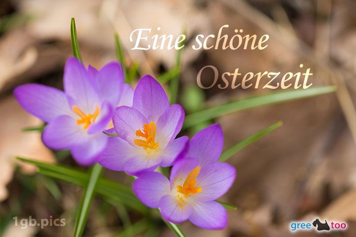 Lila Krokus Eine Schoene Osterzeit Bild - 1gb.pics