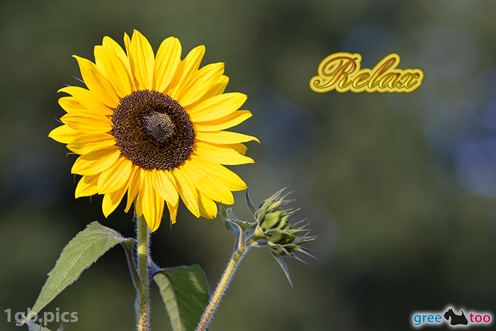 Sonnenblume Relax Bild - 1gb.pics