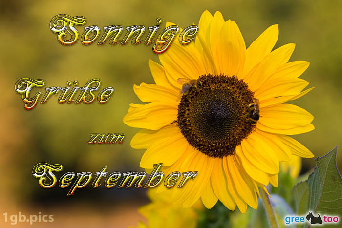 Sonnenblume Bienen Zum September Bild - 1gb.pics