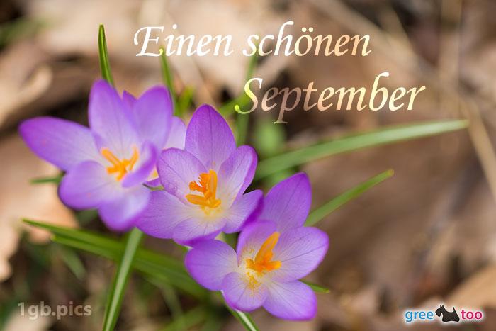 Lila Krokus Einen Schoenen September Bild - 1gb.pics