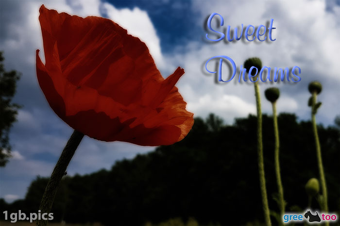 Mohnblume Sweet Dreams Bild - 1gb.pics
