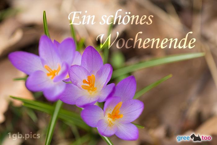 Lila Krokus Ein Schoenes Wochenende Bild - 1gb.pics