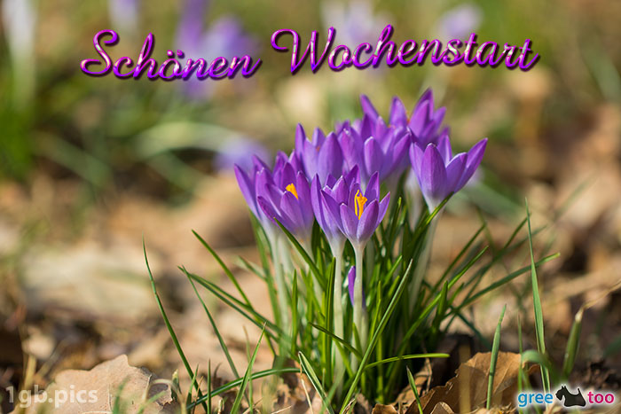 Krokusstaude Schoenen Wochenstart Bild - 1gb.pics